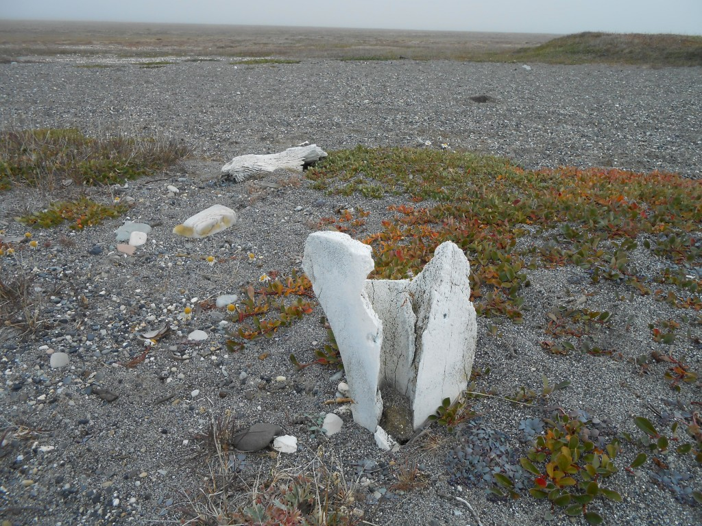 The stub of a bowhead whale bone house post at the Cape Kellet Thule Inuit village, 2013