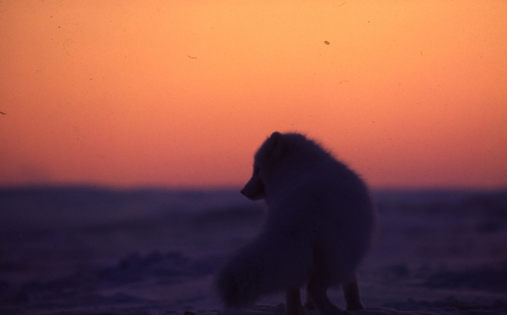 Arctic Fox, Bathurst Island, February 1971.