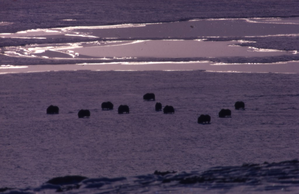 Muskoxen at Bathurst Island, early winter 1970