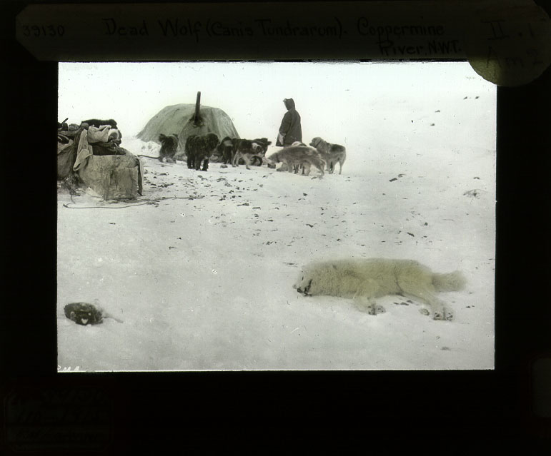 CAE camp near Bloody Fall, Coppermine River, Nunavut. Feb 10, 1915