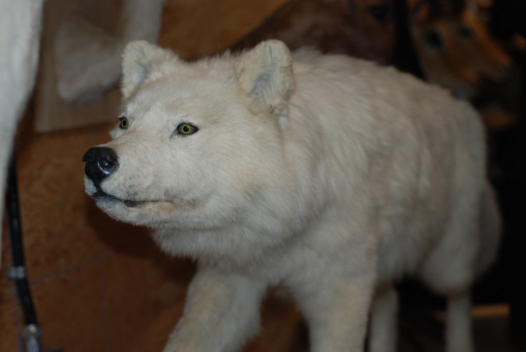 The wolf that bit Diamond Jenness in 1915, at the Cnadian Museum of Nature in 2011.